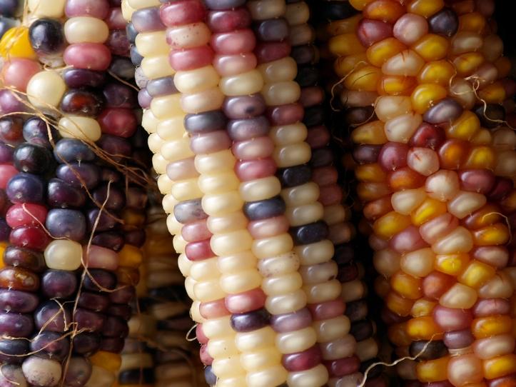 colorful-corn-1172305